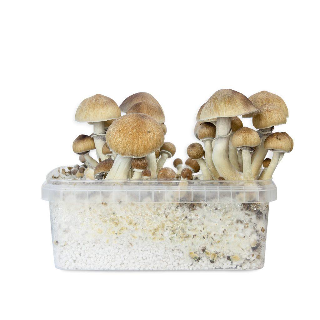 Magic mushrooms Chitwan mycelium box
