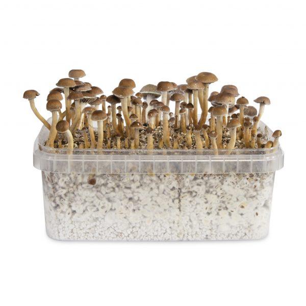 Magic mushrooms Costa Rica