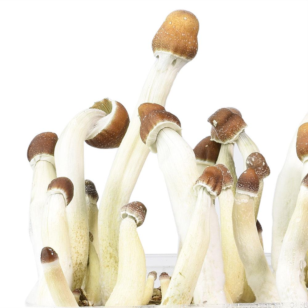 Columbian magic mushrooms