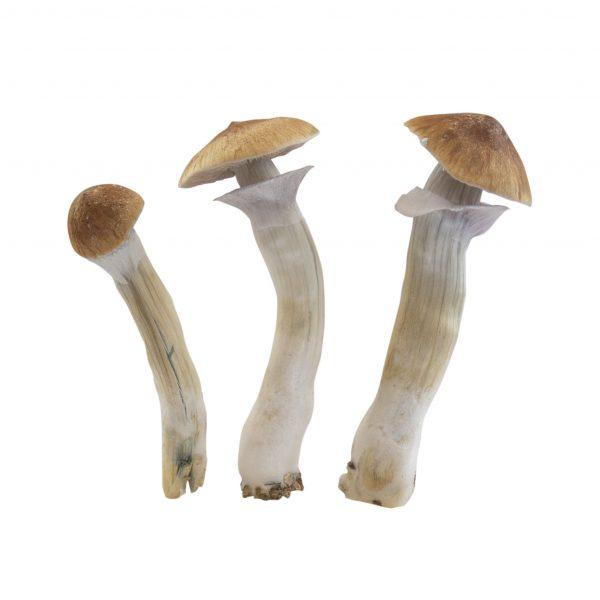 Magic mushrooms Hawaii mycelium box