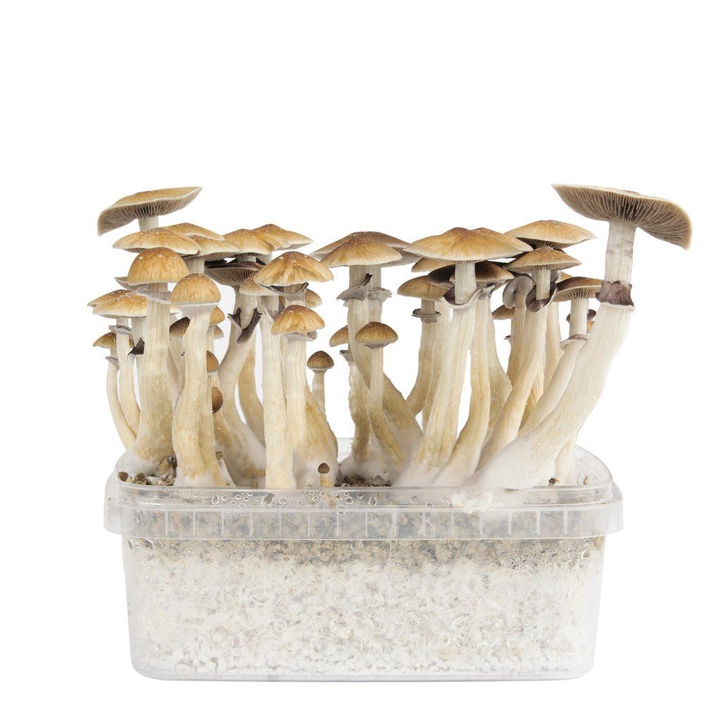 magic mushroom grow box