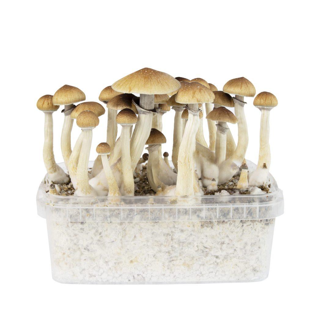 Psilocybe Cubenis Thai mycelium box