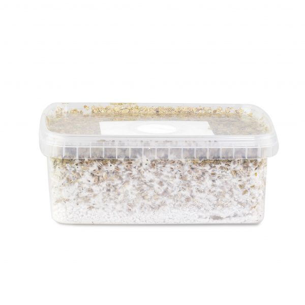 Psilocybe Cubensis grow kit